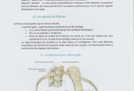 Cours d'anatomie du tronc